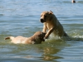 Litter M-4. The first swimming and hunting lessons_8