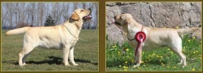 M-4 litter in the Fiamma Cantante Labrador Kennel