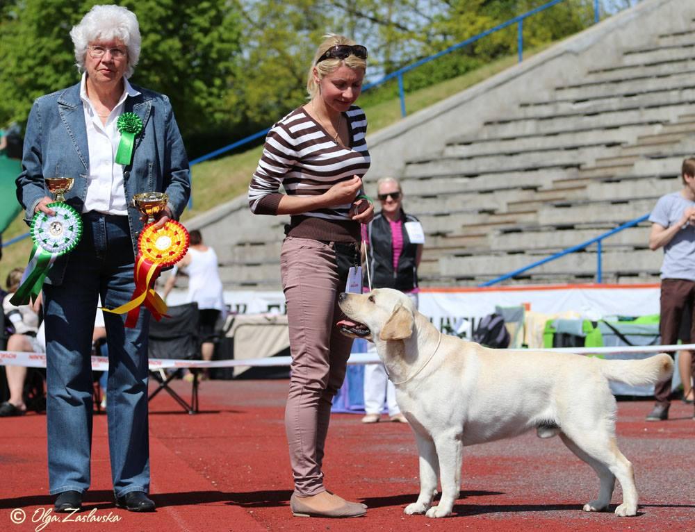 30.05.15 Tallinn, Estonia. Labrador Retrievers Specialty Show.