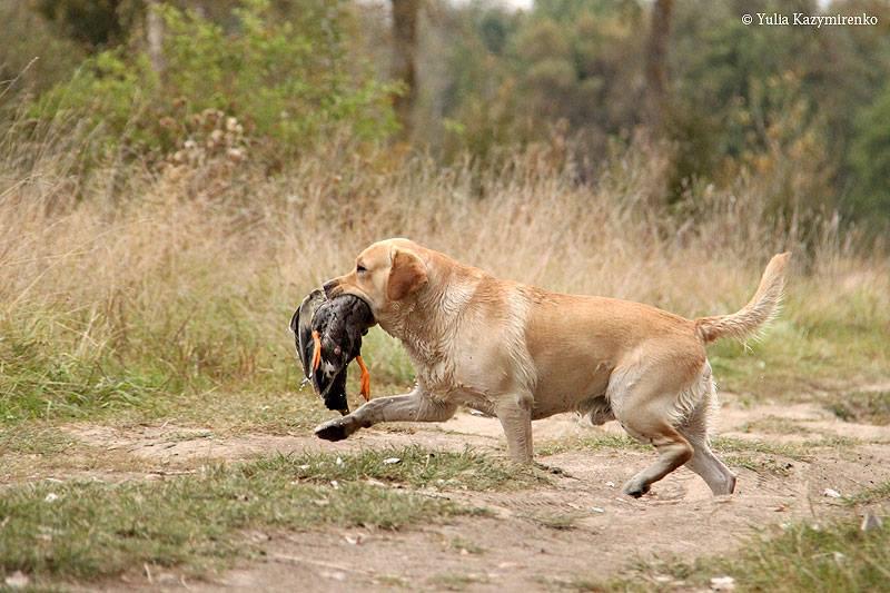 Labrador s utkoy
