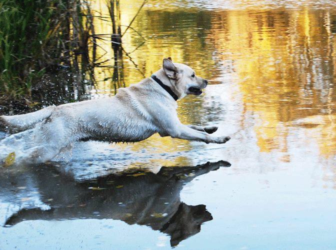Labrador na ohote