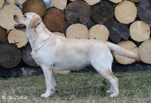 Aurikoinen-Koira-Belezza-Unica