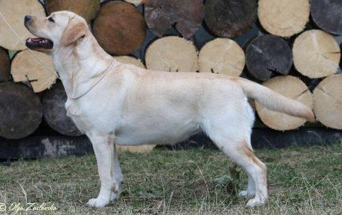 Aurinkoinen Koira Belleza Unica for Fiamma Cantante