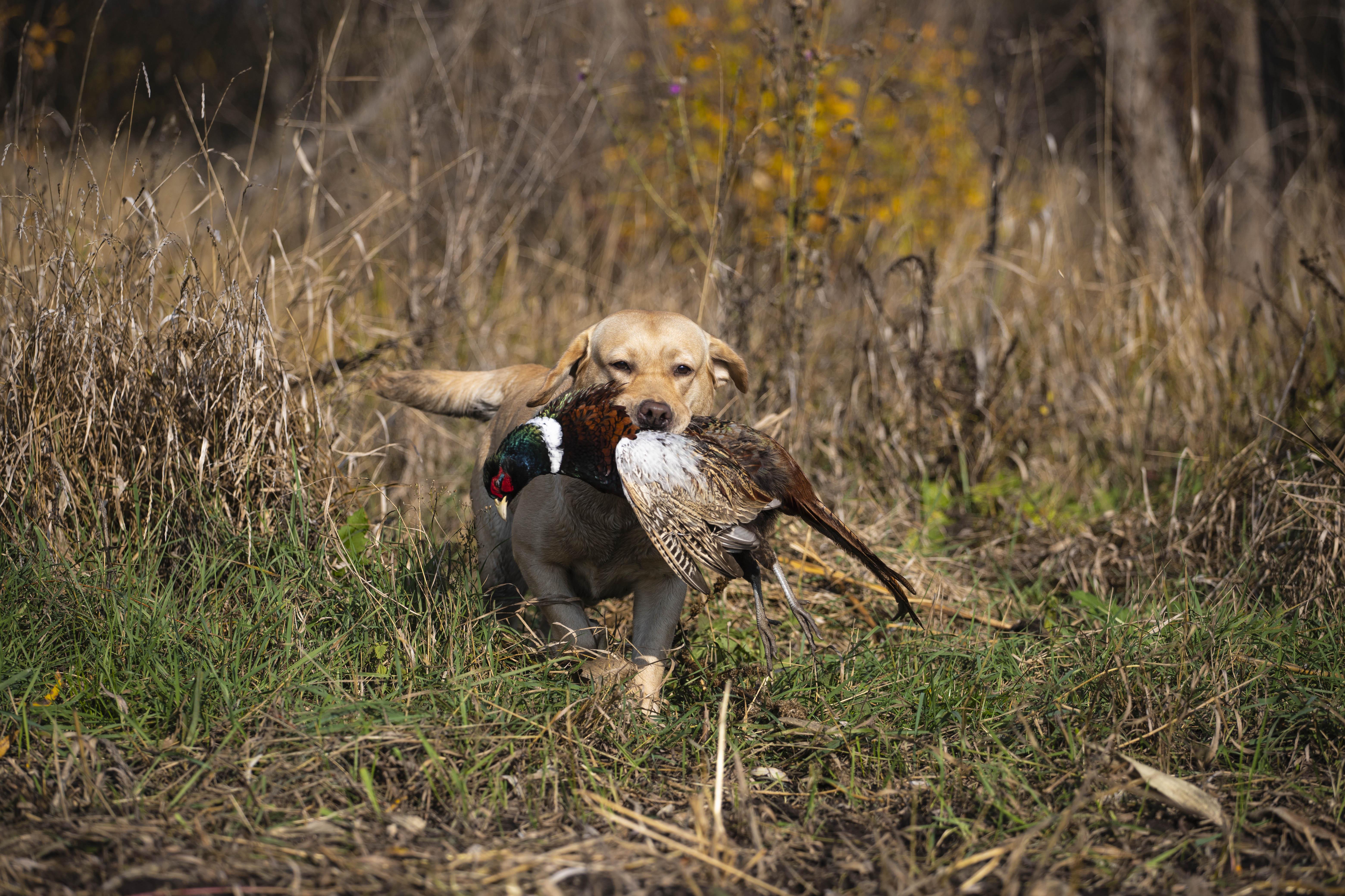 Лабрадор подает фазана
