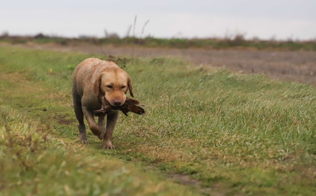 Labrador after hunt