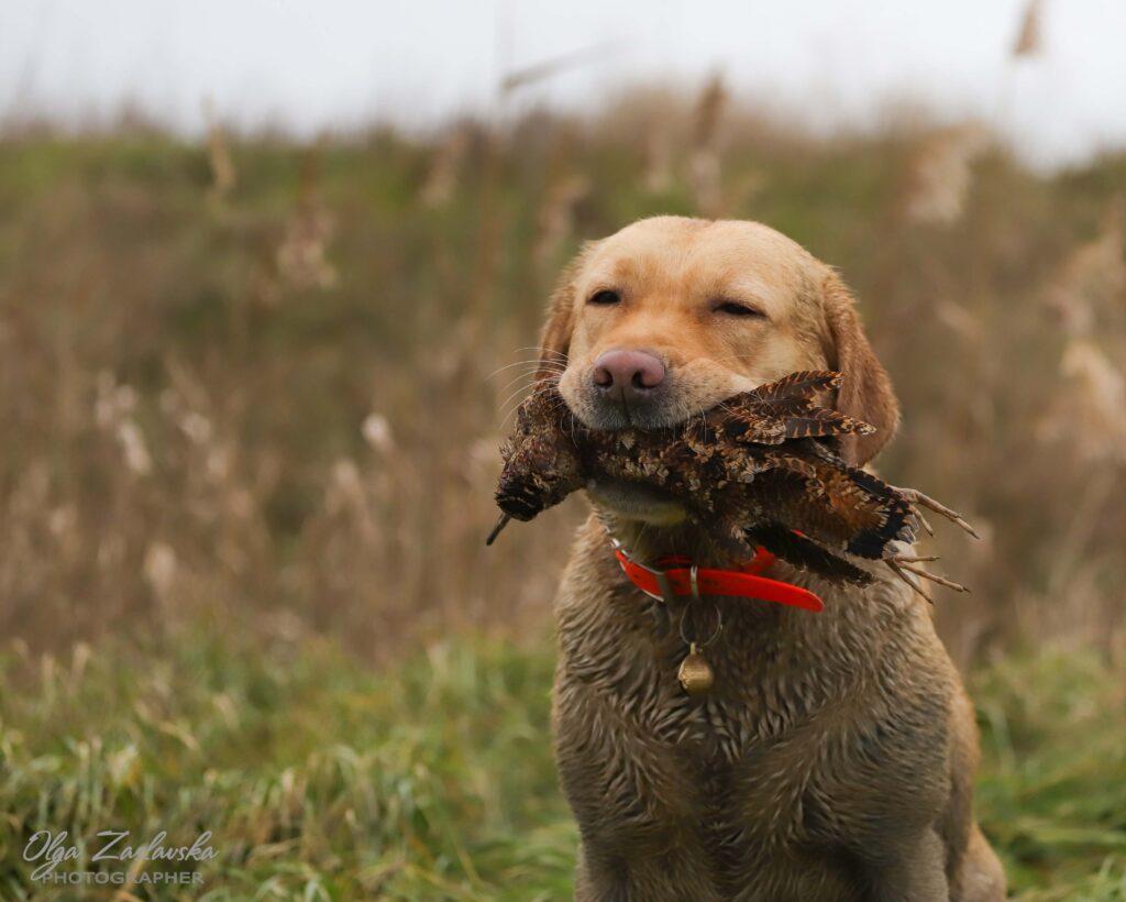 Labrador with Woodcock
