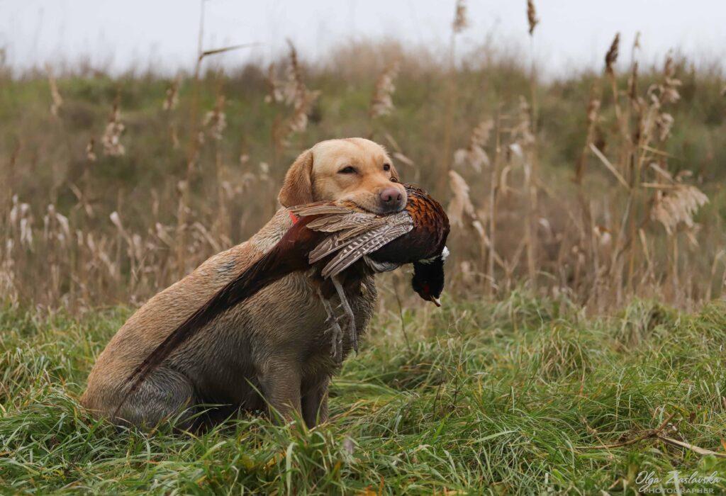 Labrador hunt for Pheasant